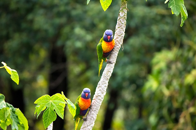 rainbow lorikeet | birds in Australia